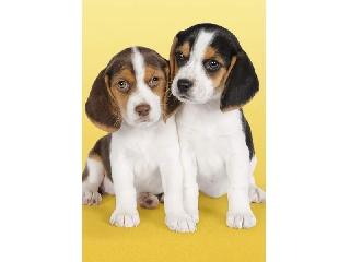 Beagle kutyakölykök 500 db-os puzzle
